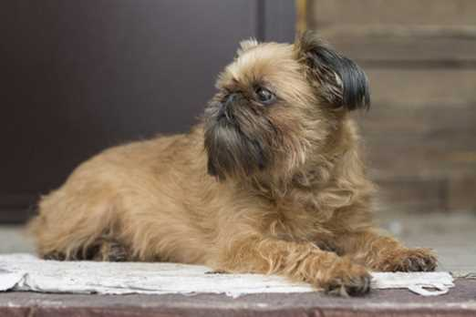 The Brussels Griffon comes in two different varieties, smooth and rough and both coat types are easy to maintain and shedding is not much of a problem.