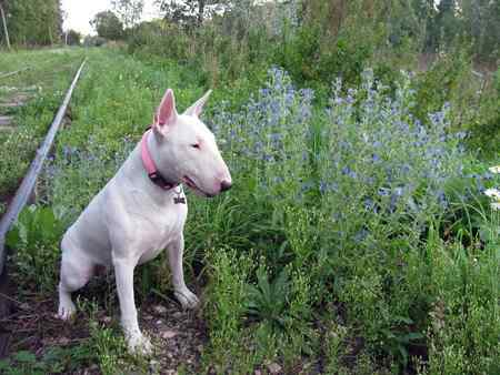 All White Bull Terrier