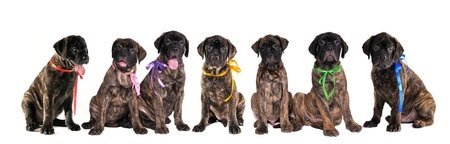Brindle Colored Bullmastiff Puppies