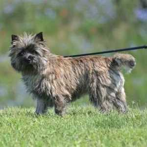 Harsh and Shaggy,Cairn Terriers require twice a week brushing or combing and a twice yearly professional grooming that includes stripping so no hair falls on your furniture.