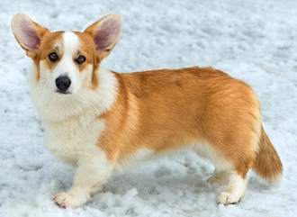 Welsh Corgi - Cardigan