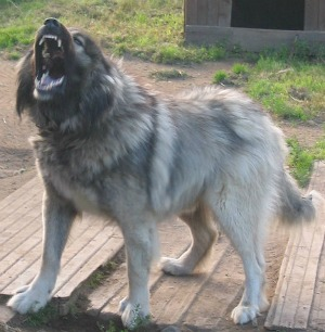 Caucasian Shepherd Dog. Also known as the Caucasian Mountain/Ovcharka