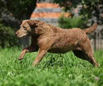 Chesapeake Bay Retriever with link to the breed description page.