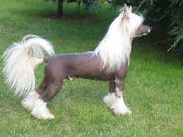 The Powderpuff variety needs brushing, but the Hairless needs more skin care than hair care.  Both shed very little. Chinese Crested