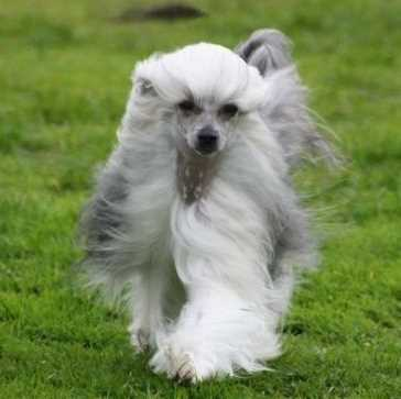 Chinese Crested, Powderpuff Variety