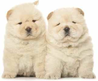 Chow Chow: Dog Breed Guide
