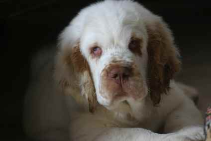 The placement of the eyes on a Clumber Spaniel is typical