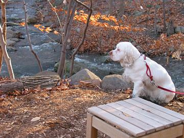 The Clumber Spaniel is happiest when he is part of your life.