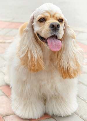 Parti-color American Cocker Spaniel