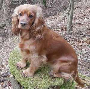 American Cocker Spaniel with link to the description page