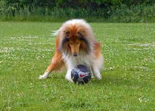 A Collie is playing in the grass with his ball.