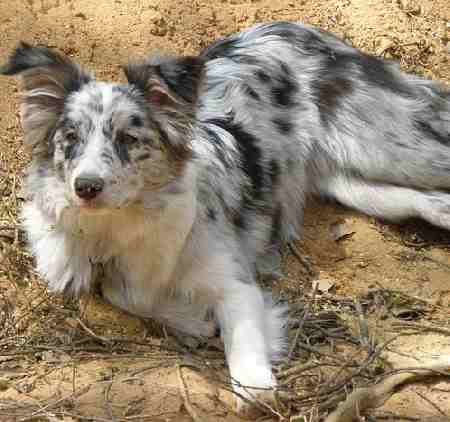 Blue-Merle Colored Collie