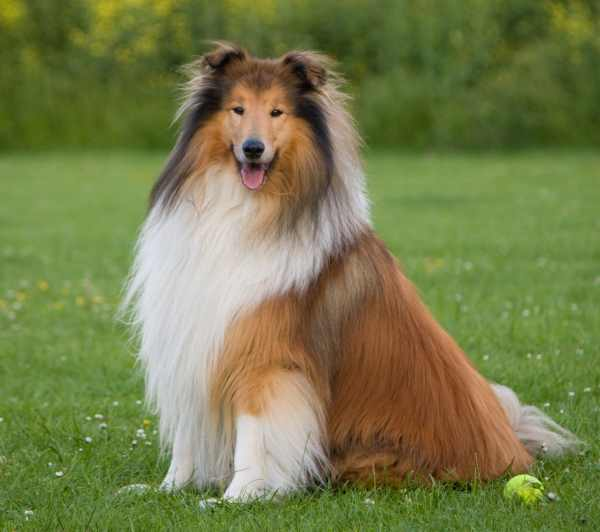 The Rough Coated Collie is a member of the Herding Dog Group.