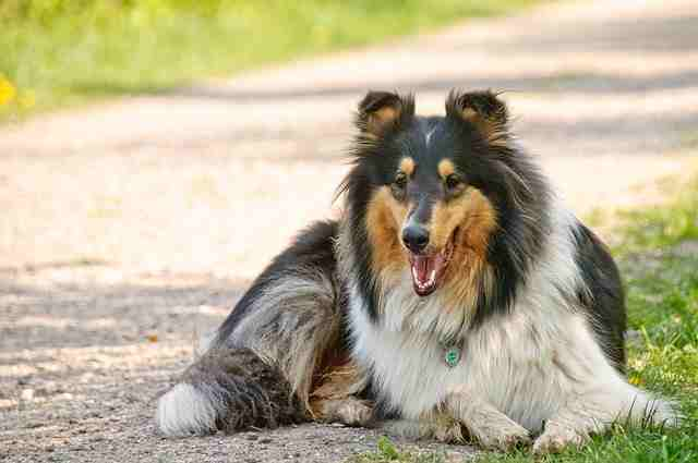 Collie Dog Breed Profile And Pictures