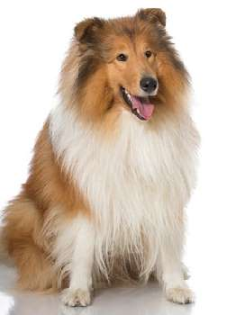 Rough Coated Collie