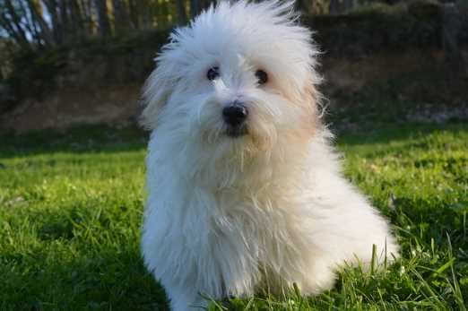 The Coton de Tulear is one of the best hypoallergenic apartment dog breeds.