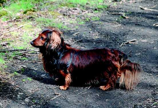 Dachshunds could have one of three different coat types:  smooth (little grooming required) long (brushing needed) and wire (twice yearly stripping). All varieties are low shedding.