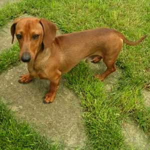 Smooth Coated Dachshund