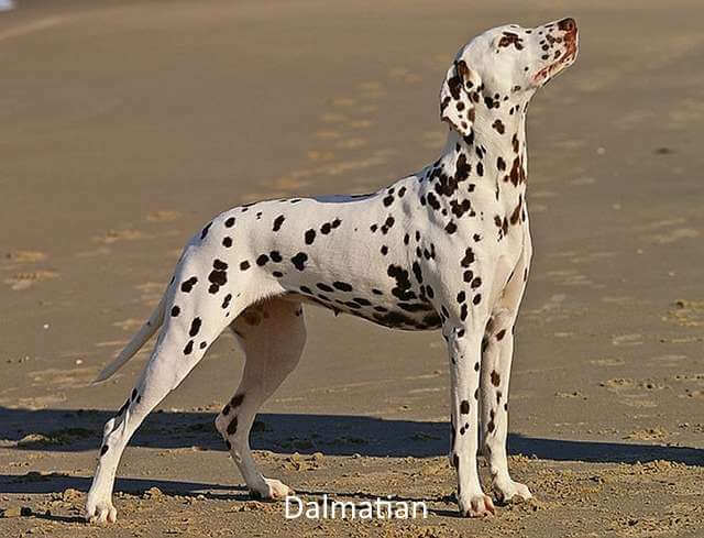 The famously spotted canine, the Dalmatian makes a great choice for a dog needing open spaces