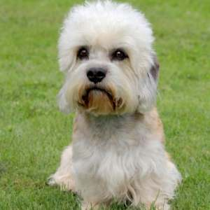 Dandie Dinmont Terrier in a sitting position