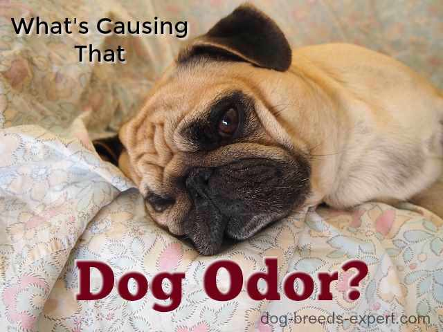 Dog Odor:  How to Combat that Stinky Smell (Header Image)