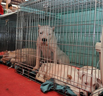 dogo argentino in crates