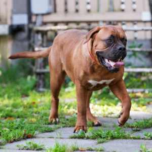 Dogue de Bordeaux   (aka. Bordeaux Mastiff, French Mastiff)