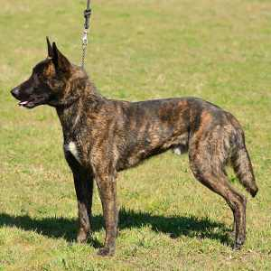 Dutch Shepherd Dog (aka. Holland Shepherd Hollandse Herde)