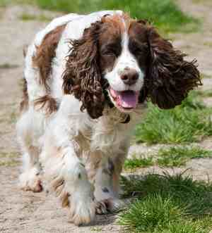 Liver and White Springer Spaniel