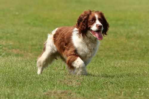 English Springer Spaniel Dog Breed Information