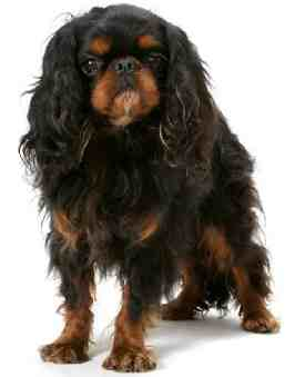 English Toy Spaniel (AKA King Charles Spaniel)