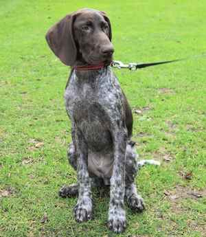 German Shorthaired Pointer (a.k.a. Deutsch Kurzhaar)