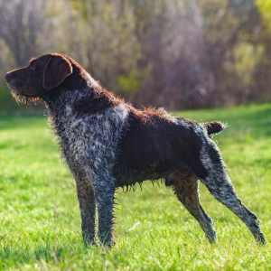 Deutscher Drahthaariger Vorstehhund  (a.k.a. German Wirehaired Pointer)