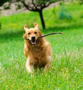 Golden Retriever Dog is retrieving a stick
