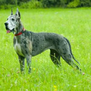 Deutsche Dogge (a.k.a. German Mastiff, Grand Danois, Great Dane, Danish Hound)