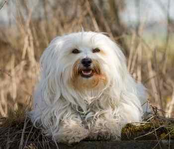Havanese Health Problems