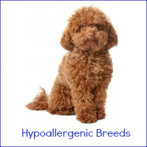 All Large Hypoallergenic Dog Breeds