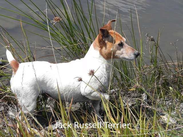 The Jack Russell Terrier:  Big attitude in a small body