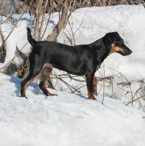 Deutscher Jagdterrier (aka. German Hunting Terrier)