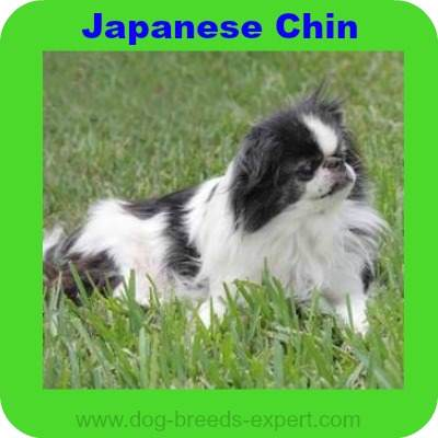 Japanese Chin, A Calm Dog Breed