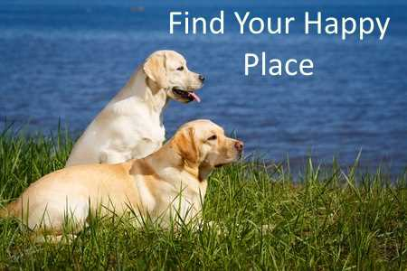 Two labrador retrievers by a body of water.