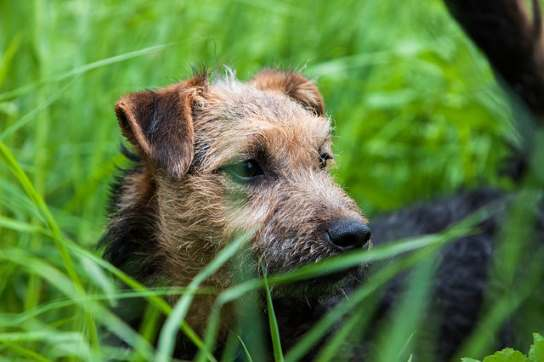 Lakeland Terriers have thick wire coats that rarely sheds.  Grooming is needed to remove the dead hairs.