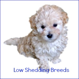 Low Shedding Dog Breeds