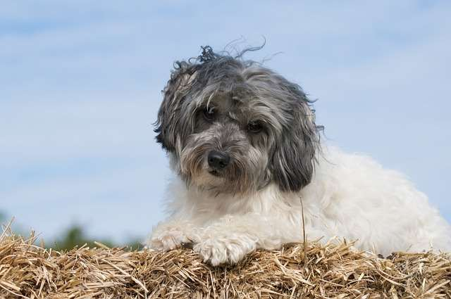 The Löwchen Is One Of The Best Hypoallergenic Apartment Dog Breeds.