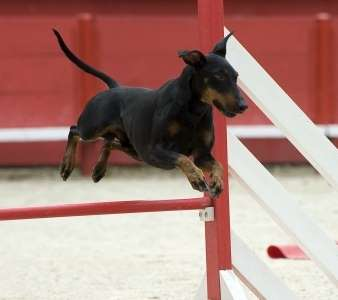 Manchester Terrier performing in agility