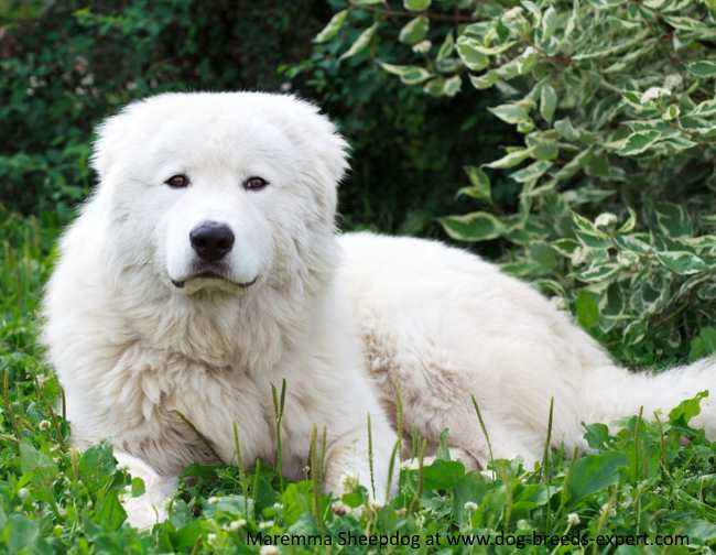 Maremma Sheepdog temperament