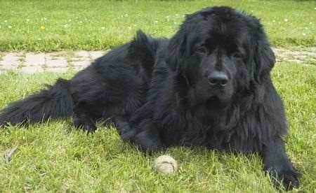 Newfoundland Dog Breed Information