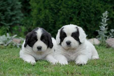 Newfoundland Puppies (also called Landseers)