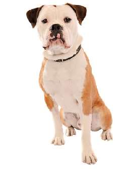 Old English Bulldogge