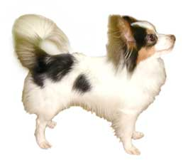 Papillon Dob Breed